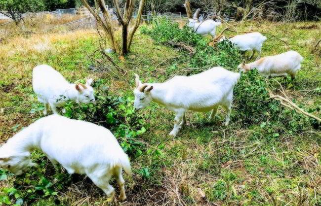カズラ山羊