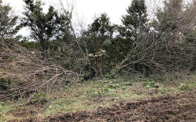 クリの木伐採-002