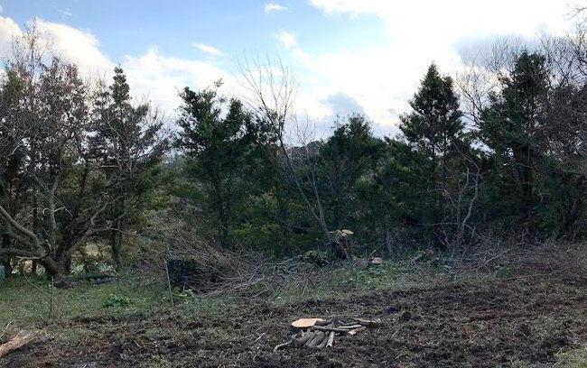 クリの木伐採-004