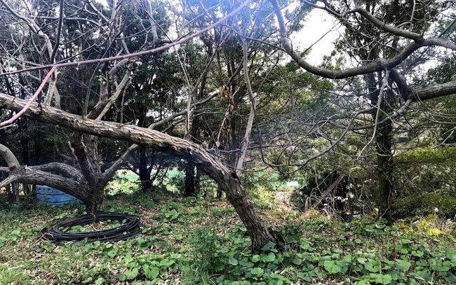 クリの木伐採