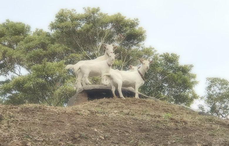 【山羊の楽園】柵を広げるばい