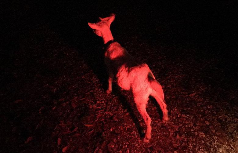 【山羊楽園】夜中の山羊の移動...