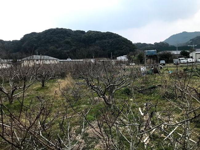 桃の木剪定