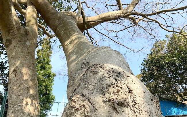 【伐採仕事】欅の根の伐採ばい★佐世保市俵ヶ浦町