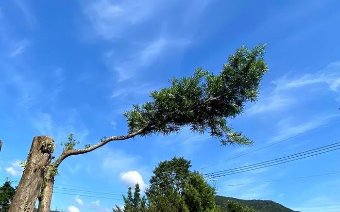 槙の木剪定