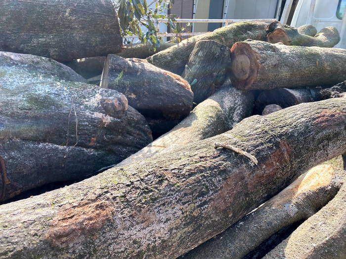 樫の木収穫