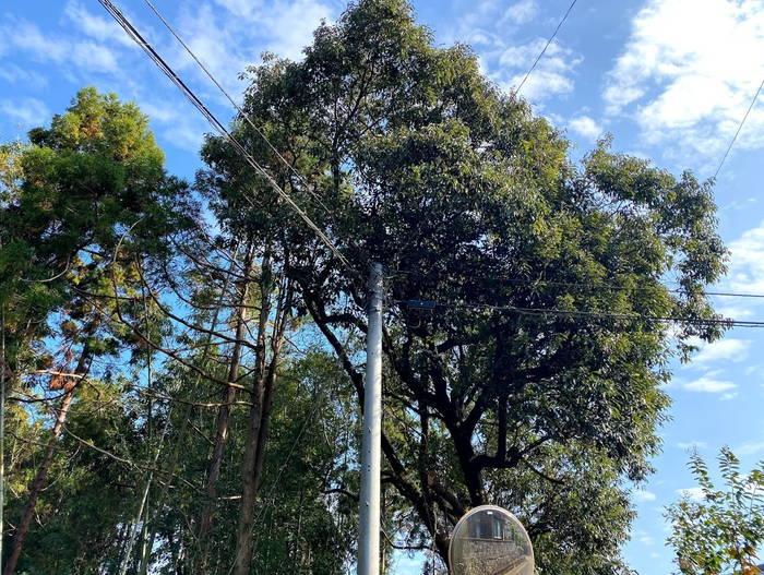 伐採枝電線付近