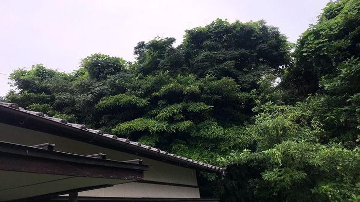 崖の木伐採