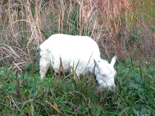 草を食べている年老いた長老ヤギ