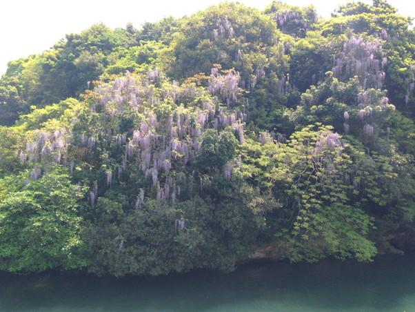 藤の花が海沿いに咲き乱れる写真