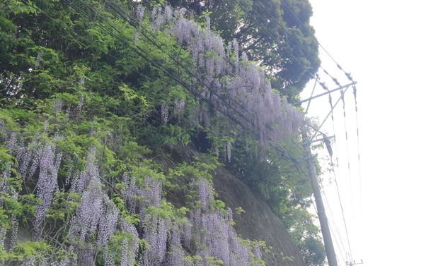 電線に乗っている藤の花
