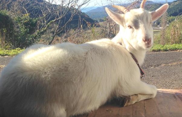 【今日のヤギ】ヤギと添い寝