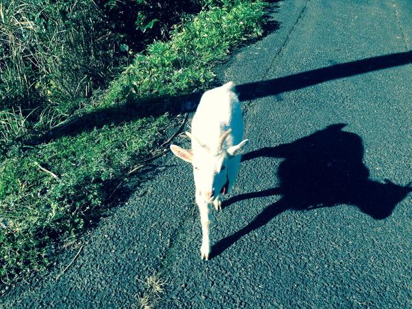 ヤギが散歩する姿