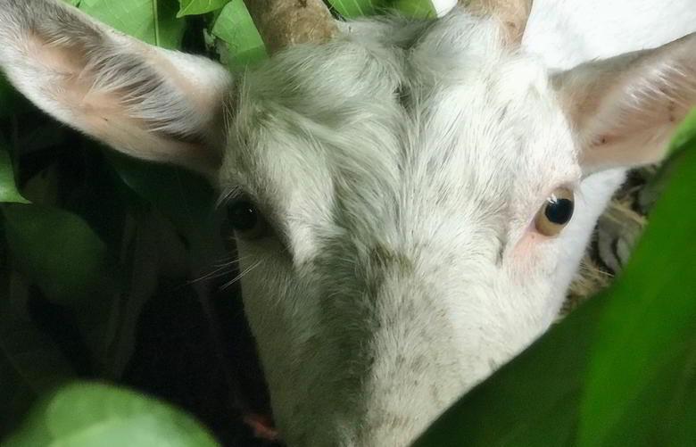 【今日のヤギ】初めての山羊の出産