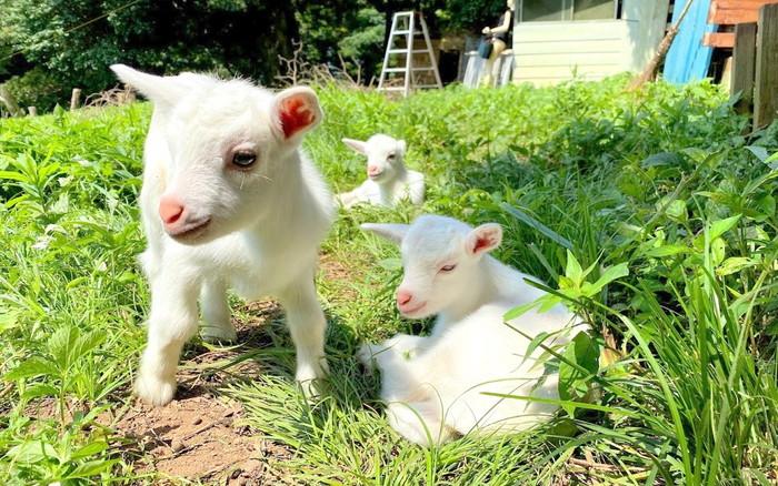 三つ子山羊2