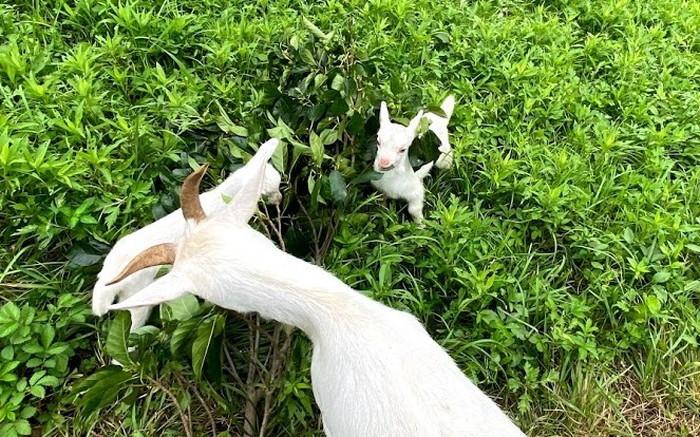 【今日の山羊】双子と三つ子の子山羊達