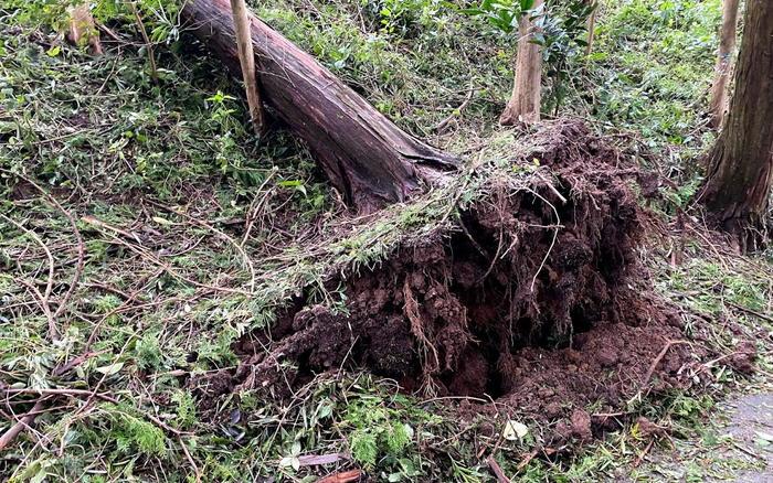 杉の根っこ