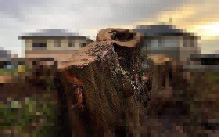 椎の木伐採完了
