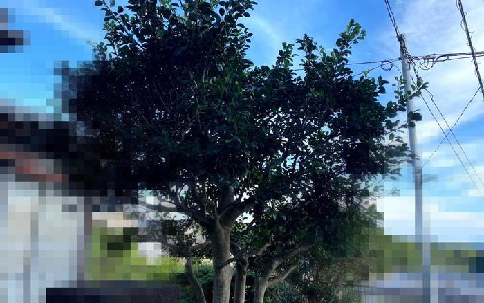 【伐採仕事】リンゴの木ば初めて伐った