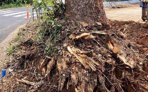 楠の根っこ