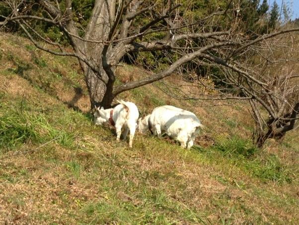 ヤギの長老と一緒に草を食べているヤギの花