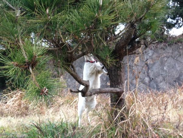 松の葉を食べるヤギ