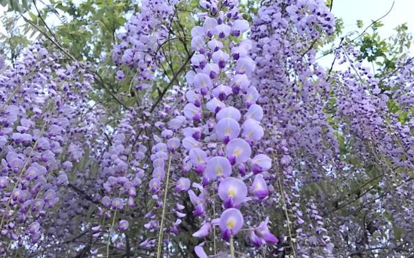藤の花のアップ写真