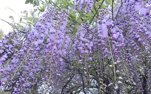 藤の花が咲き乱れている