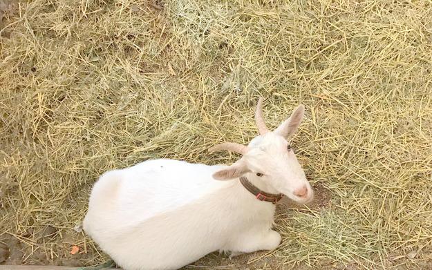 【今日のヤギ】HANAを隔離