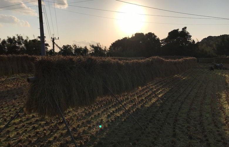 【畑仕事】初めての稲掛干ばい