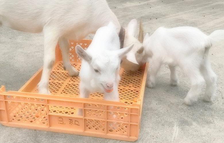 【今日のヤギ】子山羊の乳離ればい
