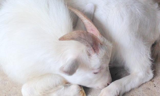 睡眠中のヤギ2