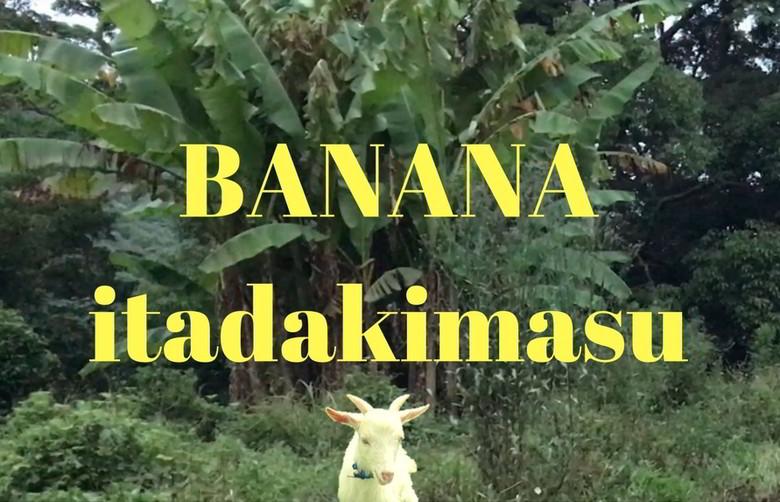 【今日のヤギ】バナナをぶっ倒すの巻