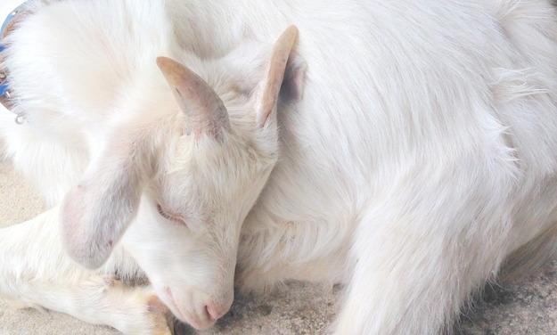 睡眠中のヤギ1