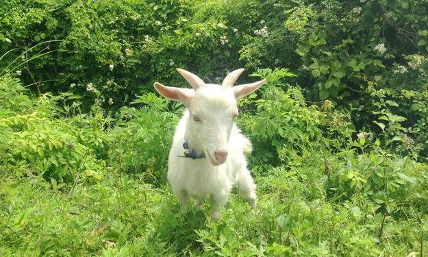 【今日のヤギ】草食べる