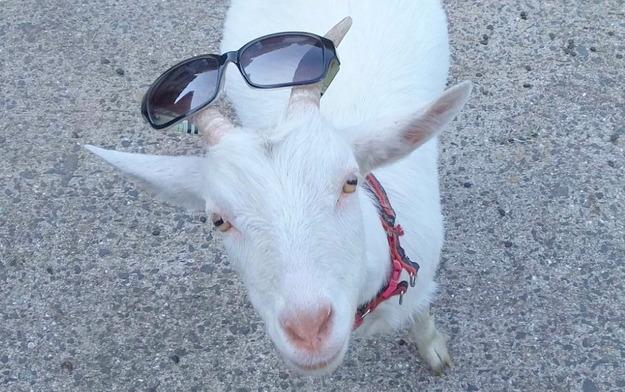 【今日のヤギ】クリームなヤギとセレブなヤギ