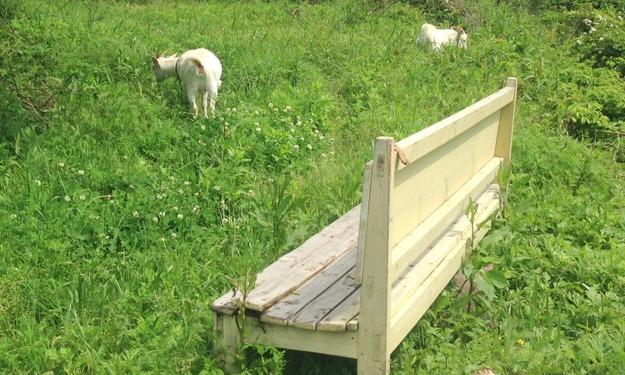 草を食べる2頭のヤギ達