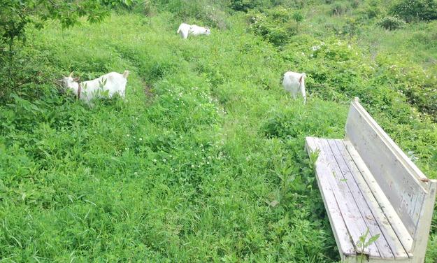 草を食べる3頭のヤギ達