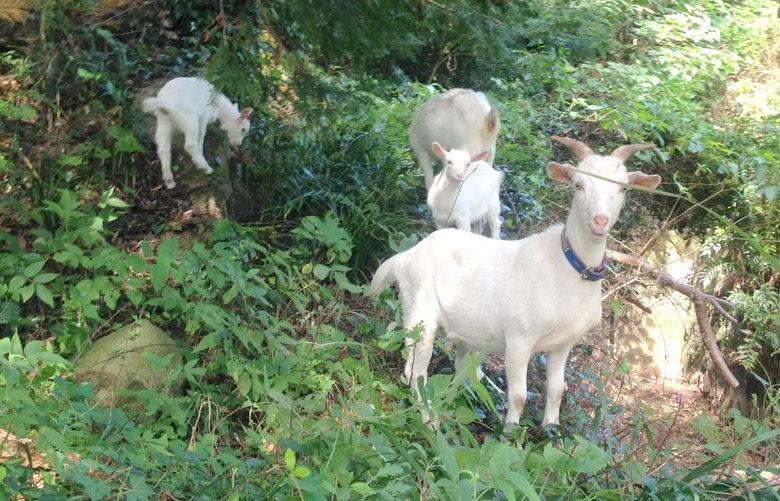 【今日のヤギ】側溝に落ちた山羊達を救出...