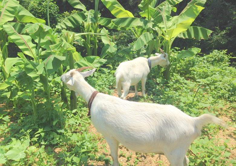 【今日のヤギ】新芽のバナナは美味か~の巻
